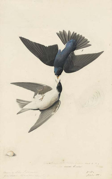 Tree Swallow, Havell pl. 98