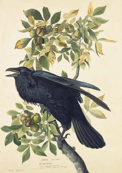 Common Raven, Havell pl. 101