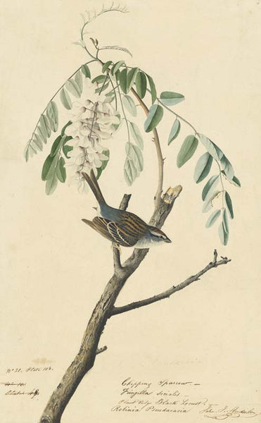 Chipping Sparrow, Havell pl. 104