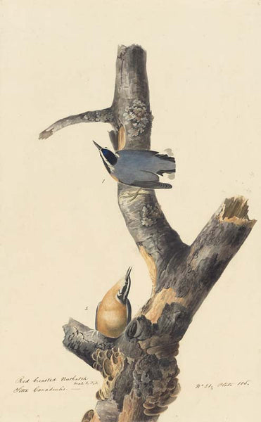 Red-breasted Nuthatch, Havell pl. 105