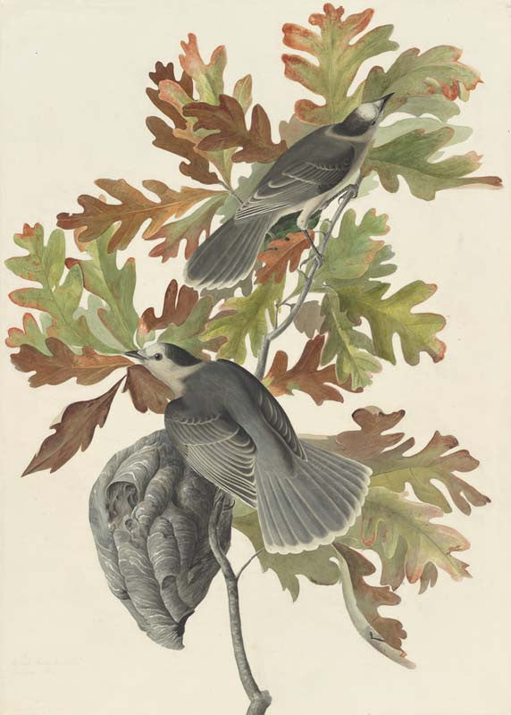 Gray Jay, Havell pl. 107