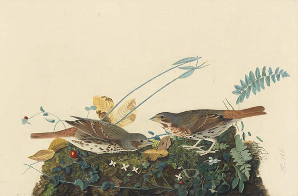Fox Sparrow, Havell pl. 108
