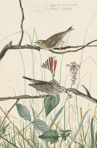 Savannah Sparrow, Havell pl. 109