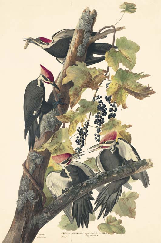 Pileated Woodpecker, Havell pl. 111