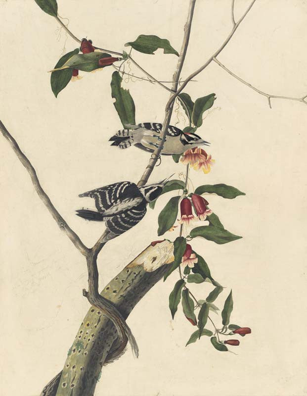 Downy Woodpecker, Havell pl. 112
