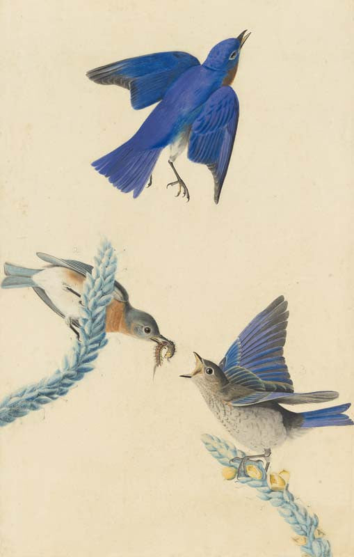 Eastern Bluebird, Havell pl. 113