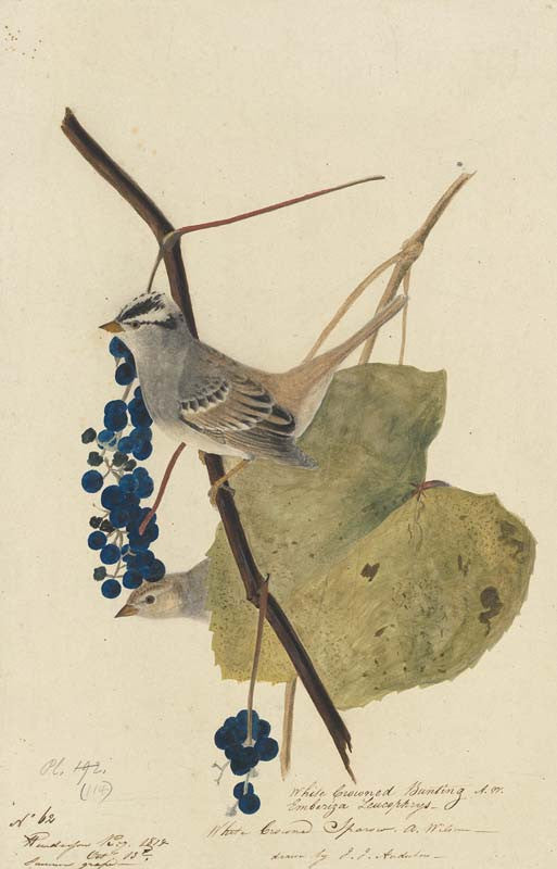 White-crowned Sparrow, Havell pl. 114