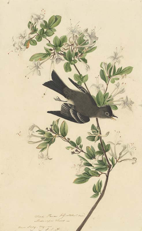 Eastern Wood-Pewee, Havell pl. 115
