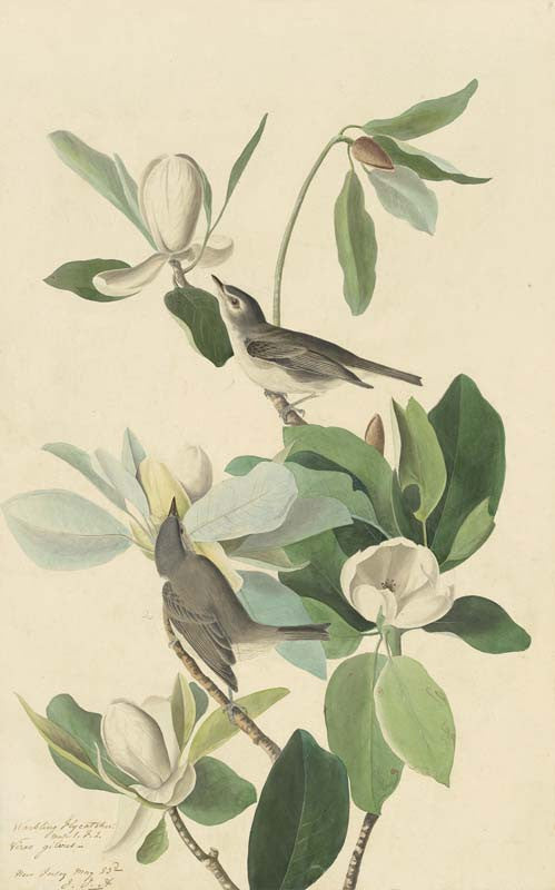 Warbling Vireo, Havell pl. 118