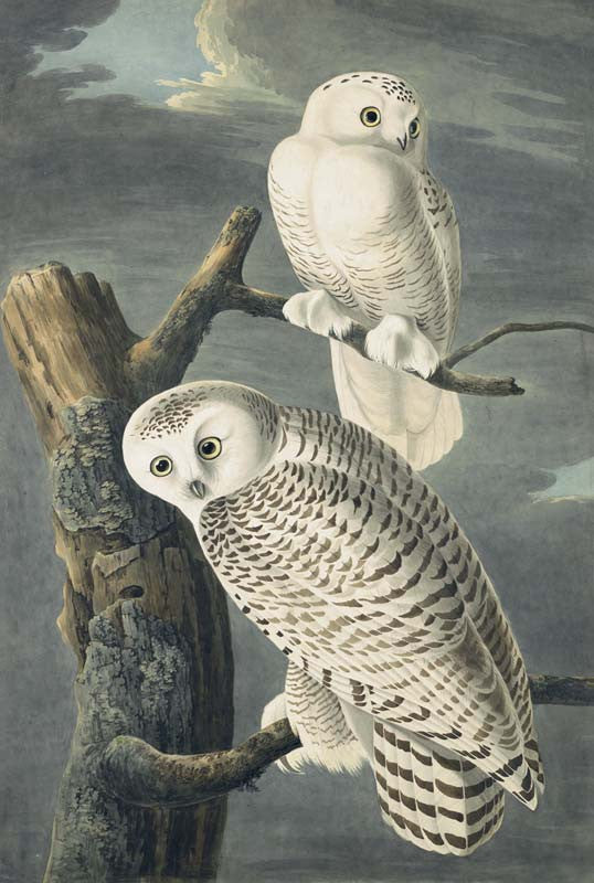 Snowy Owl, Havell pl. 121