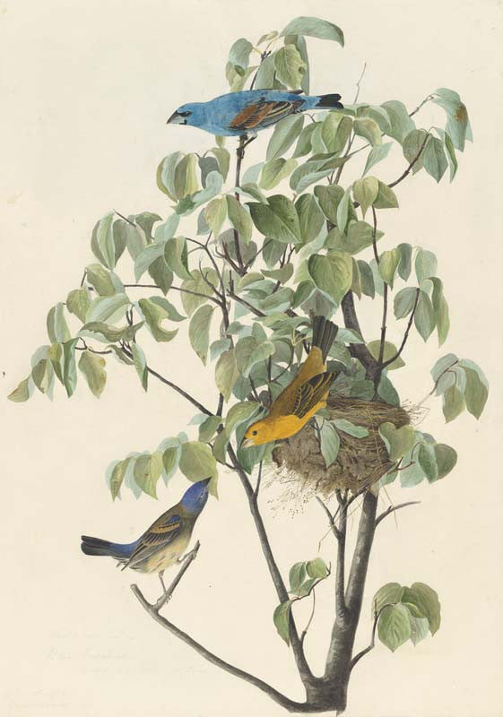 Blue Grosbeak, Havell pl. 122