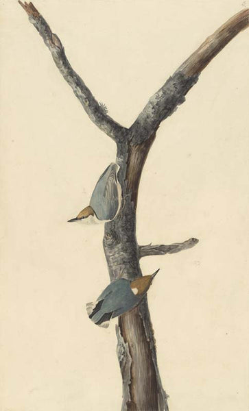 Brown-headed Nuthatch, Havell pl. 125