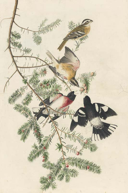 Rose-breasted Grosbeak, Havell pl. 127