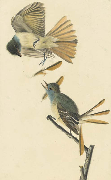 Great Creseted Flycatcher, Havell pl. 129