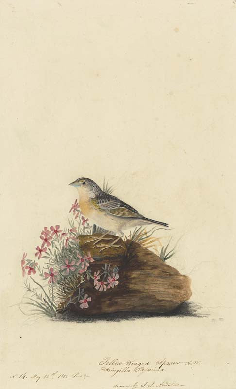 Grasshopper Sparrow, Havell pl. 130