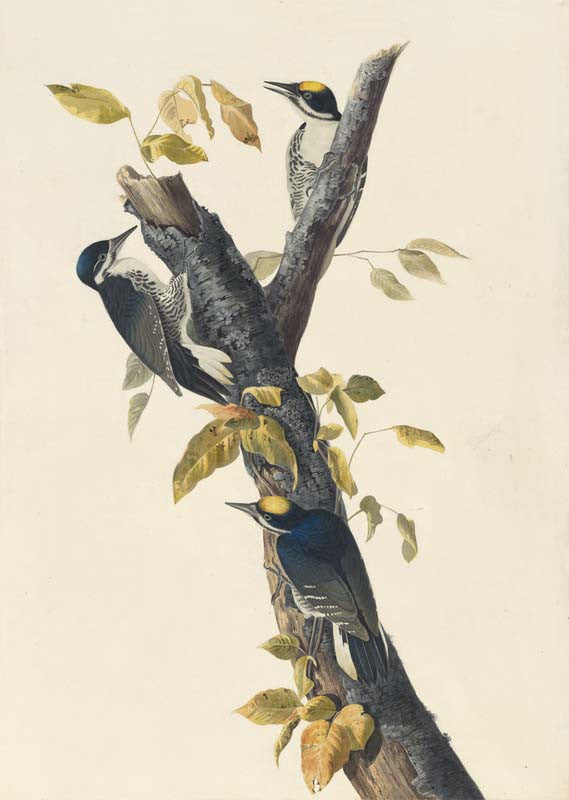 Black-backed Woodpecker, Havell pl. 132