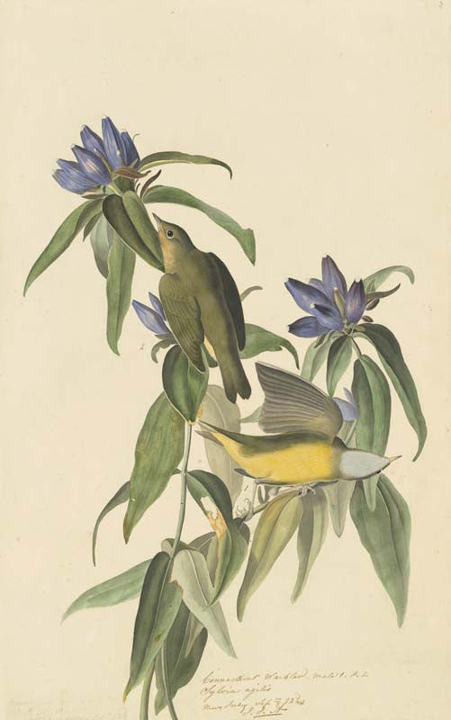 Connecticut Warbler, Havell pl. 138