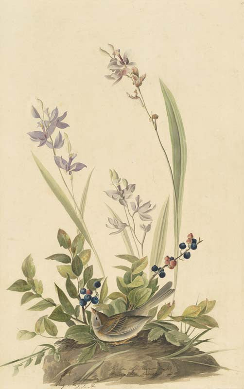Field Sparrow, Havell pl. 139