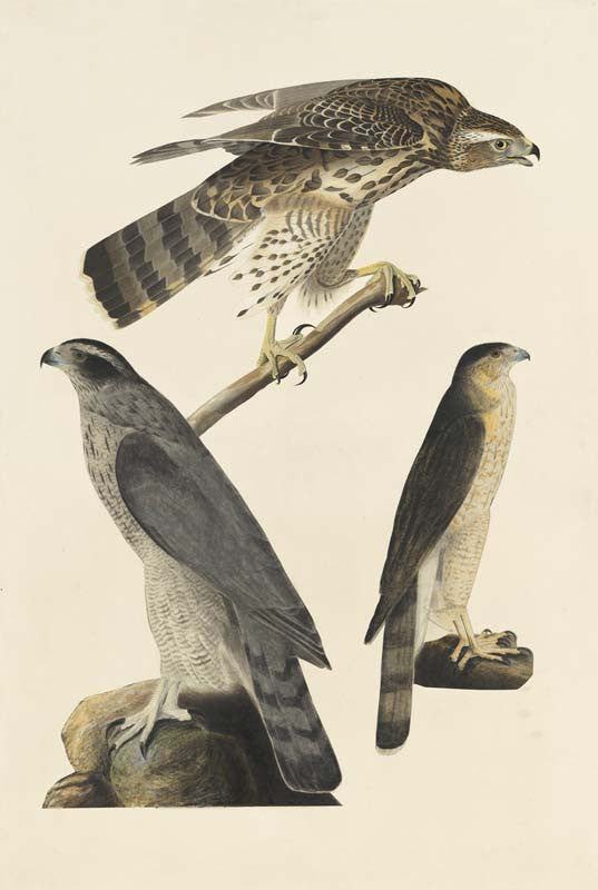 Northern Goshawk and Cooper's Hawk, Havell pl. 141