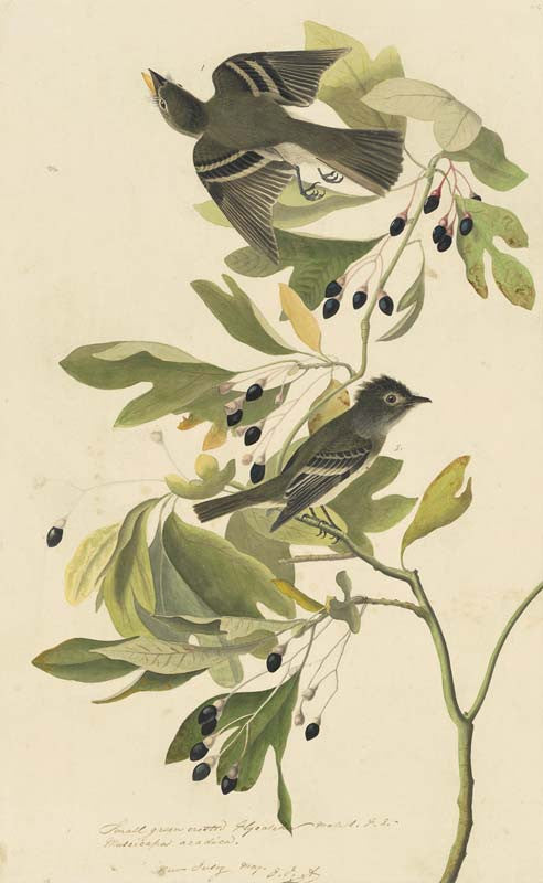 Acadian Flycatcher, Havell pl. 144