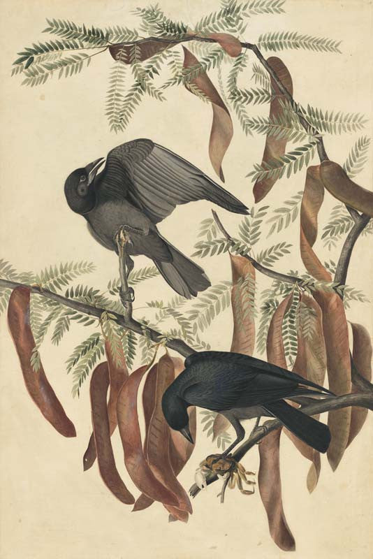 Fish Crow, Havell pl. 146