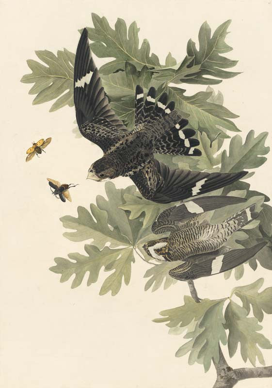 Common Nighthawk, Havell pl. 147