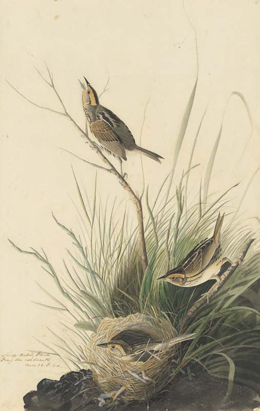 Saltmarsh Sparrow, Havell pl. 149