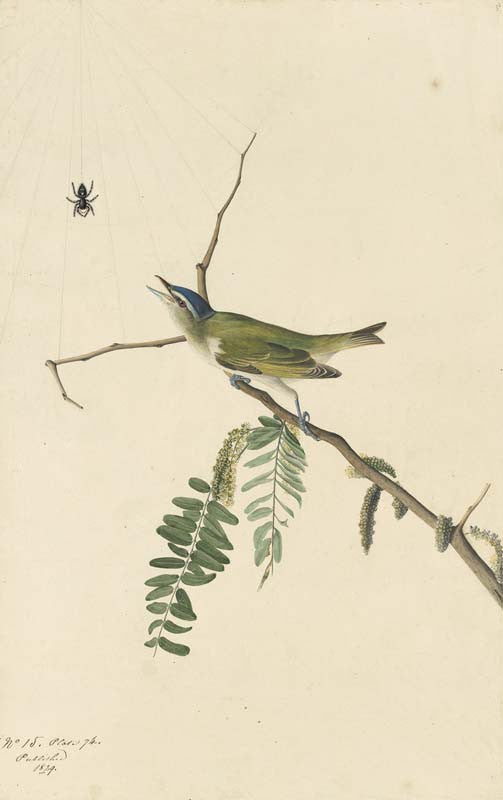 Red-eyed Vireo, Havell pl. 150