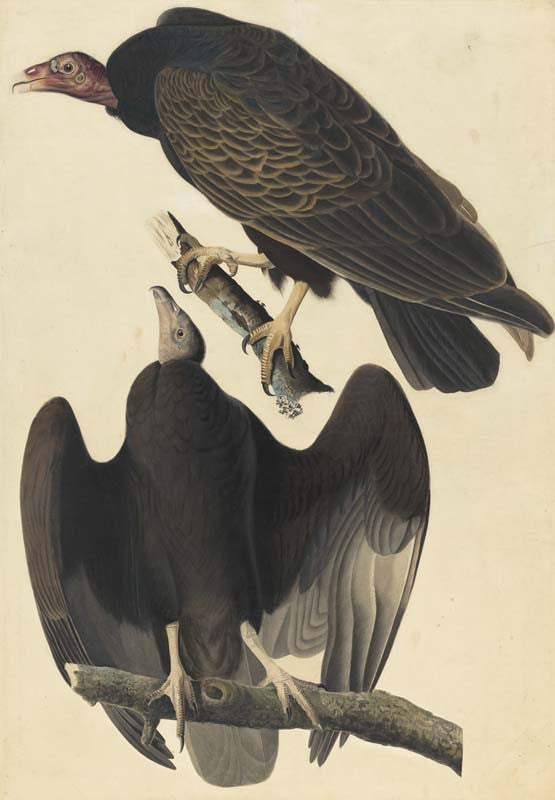 Turkey Vulture, Havell pl. 151