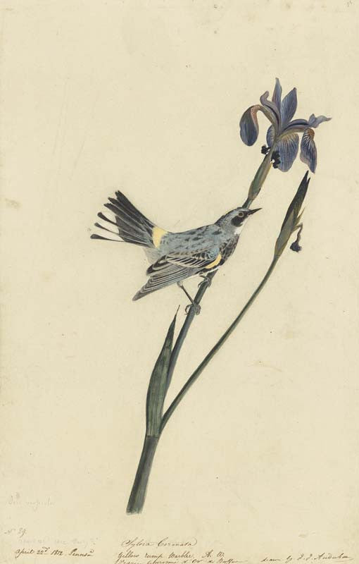 Yellow-rumped Warbler, Havell pl. 153
