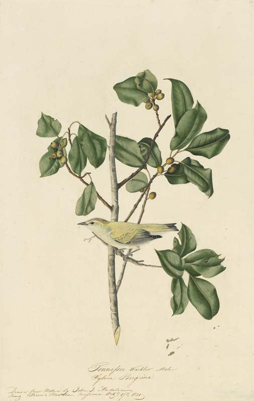 Tennessee Warbler, Havell pl. 154