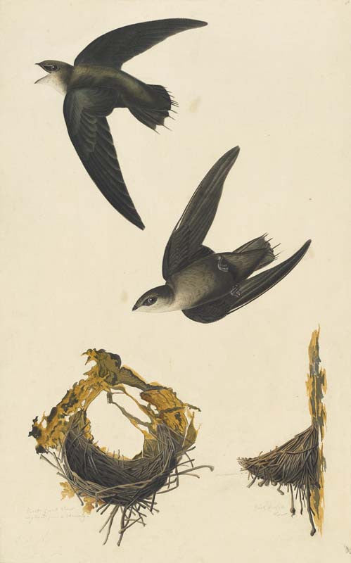 Chimney Swift, Havell pl. 158