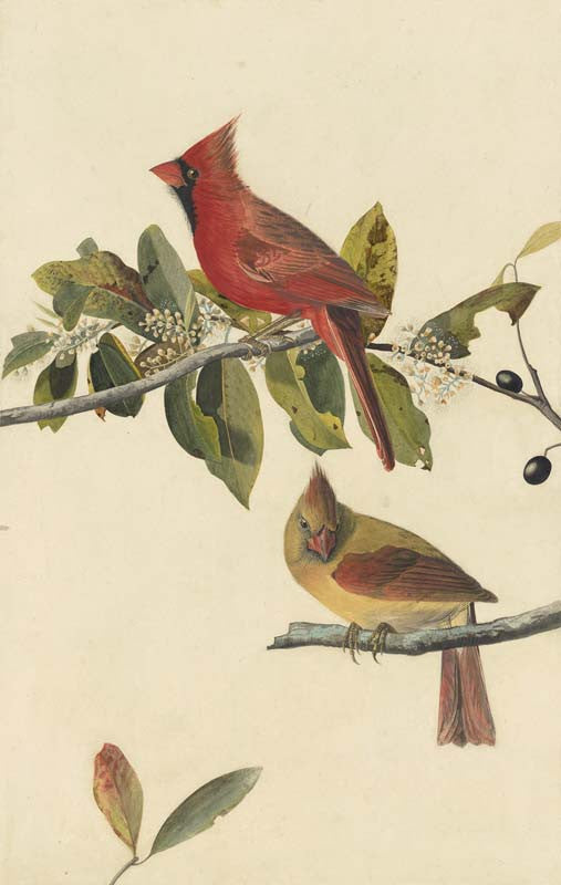 Northern Cardinal, Havell pl. 159