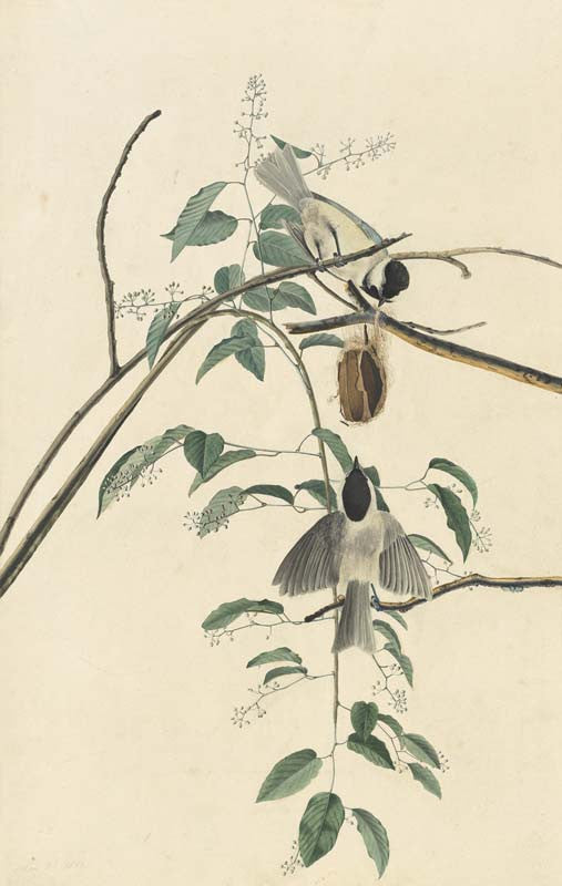 Carolina Chickadee, Havell pl. 160