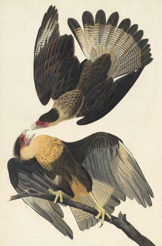 Crested Caracara, Havell pl. 161