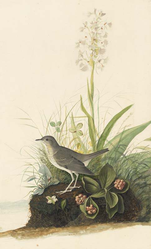 Veery, Havell pl. 164