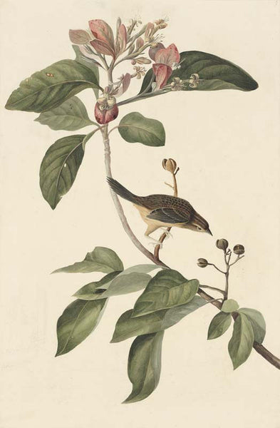 Bachman's Sparrow, Havell pl. 165