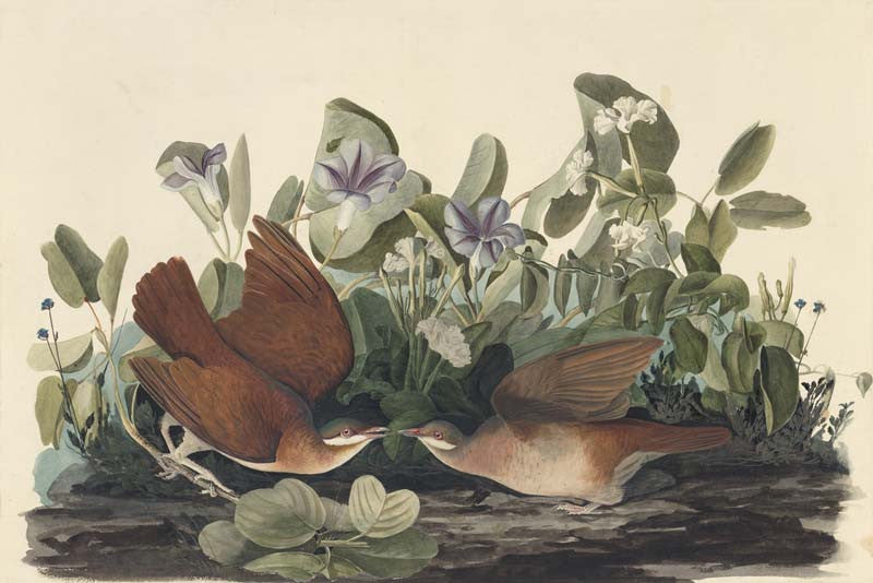 Key West Quail-Dove, Havell pl. 167