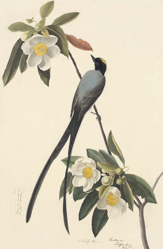 Fork-tailed Flycatcher, Havell pl. 168
