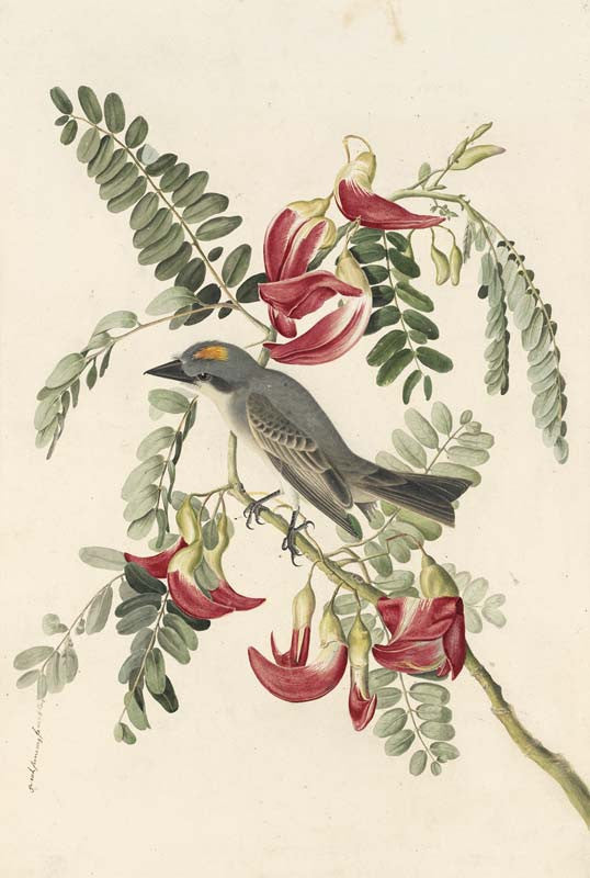 Gray Kingbird, Havell pl. 170