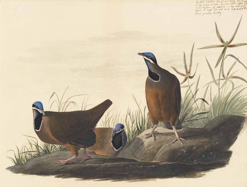 Blue-headed Quail-Dove, Havell pl. 172