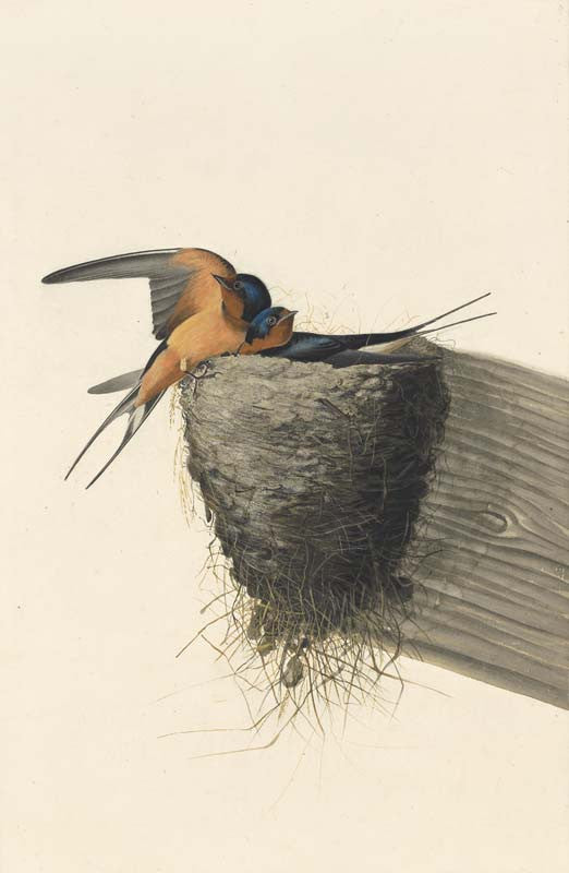 Barn Swallow, Havell pl. 173