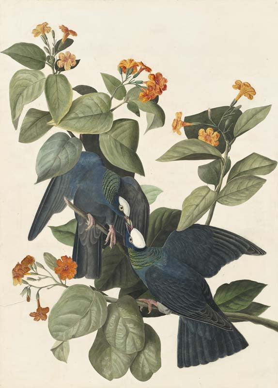 White-crowned Pigeon, Havell pl. 177