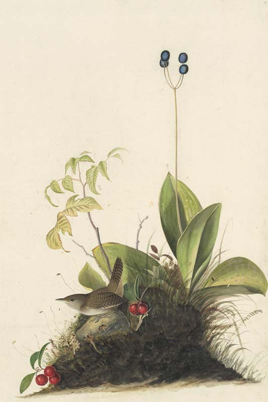 House Wren, Havell pl. 179