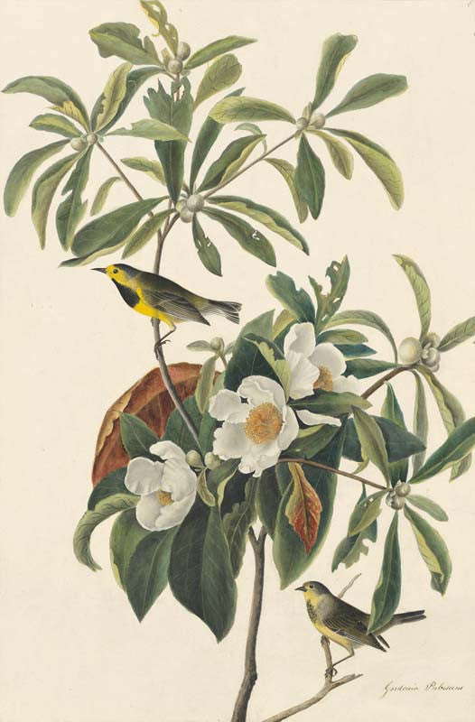 Bachman's Warbler, Havell pl. 185
