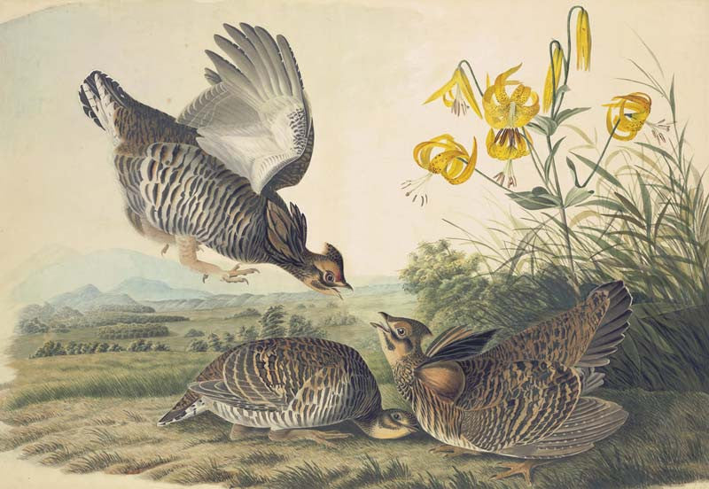 Greater Prairie-Chicken, Havell pl. 186