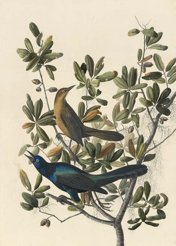 Boat-tailed Grackle, Havell pl. 187