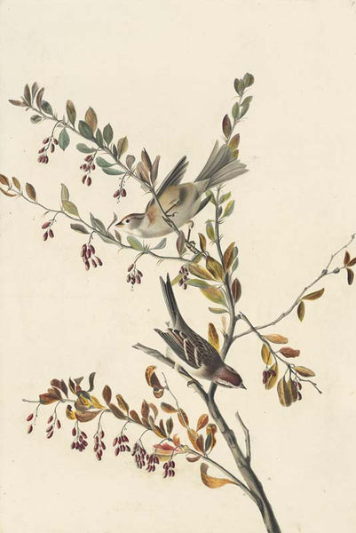 American Tree Sparrow, Havell pl. 188