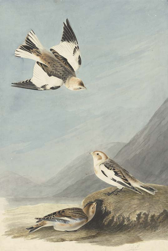 Snow Bunting, Havell pl. 189