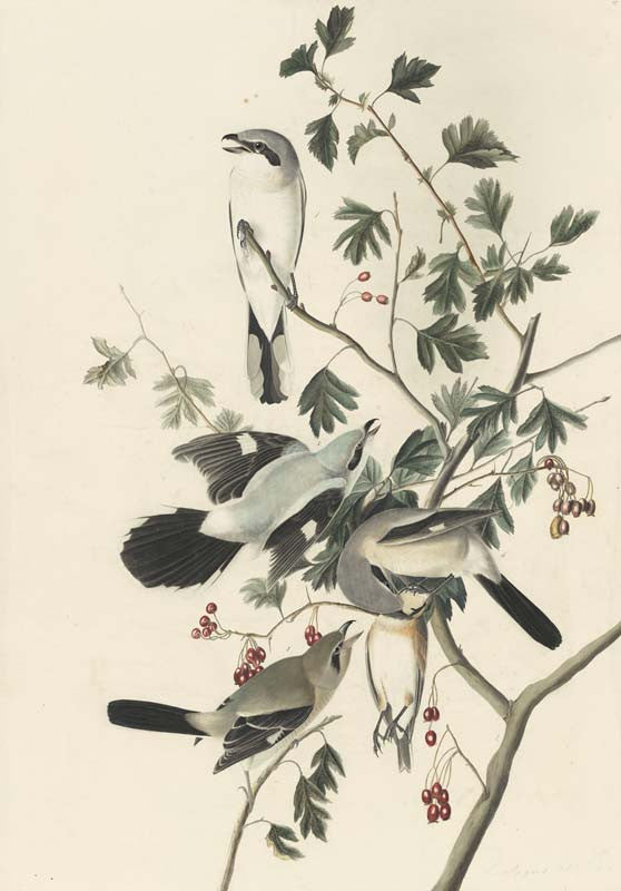 Northern Shrike, Havell pl. 192
